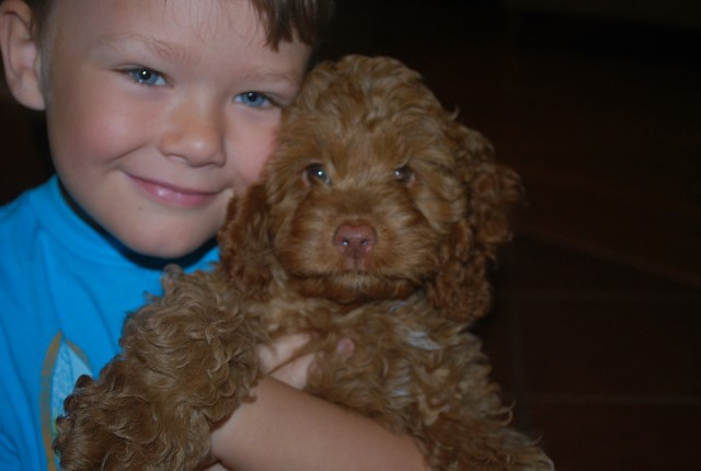 Dogs For Sale, Cockapoos, Poodles, Cocker Spaniel, Puppies For Sale